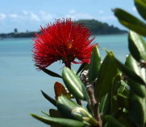 Pohutakawa flower - New Zealand